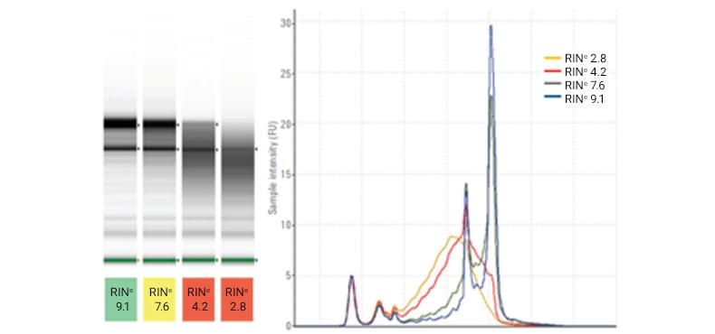 Rat Total RNA Samples on the TapeStation