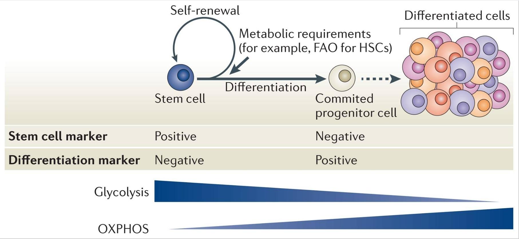 stem cell marker